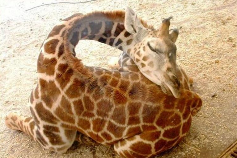 How-giraffes-sleep
